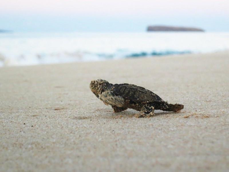 A Hawksbill hatchling scrambles across the beach to ocean in south Maui.
