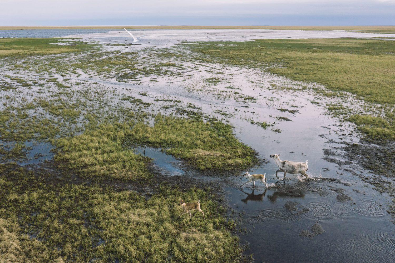 Caribou and migratory birds in the Western Arctic around the Lake Teshekpuk area.