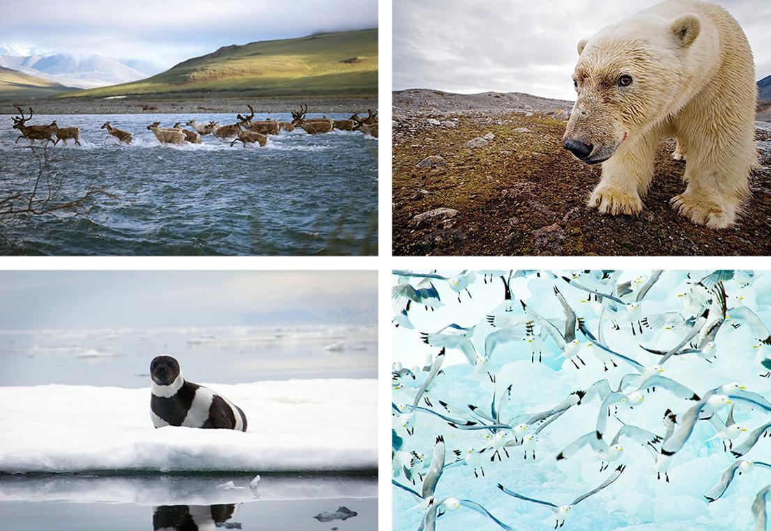 photo grid of Arctic wildlife, clockwise from top left, including a herd of porcupine caribou, a polar bear, a flock of Kittiwakes, and a ringed seal