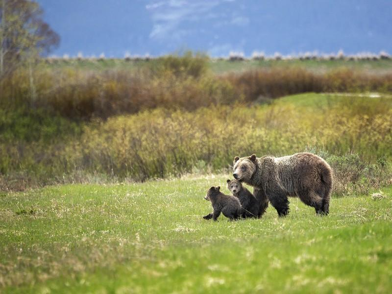 Grizzly 610 and her two cubs take a walk through Willow Flats in Grand Teton National Park, Wyoming.